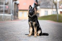 Vācu aitu suns.